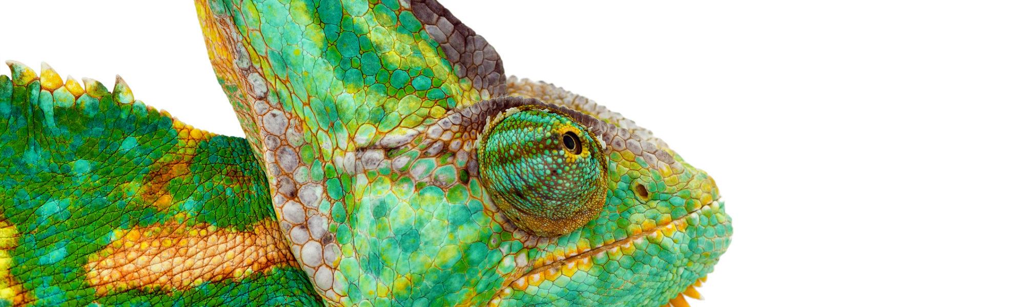 Chamaeleo calyptratus also called veiled cone head or yemen chameleon 1137263926 2124x1416